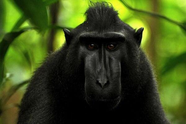 Животные Индонезии с фото, названиями, описанием - Хохлатый или чёрный макак (чёрный сулавесский павиан)