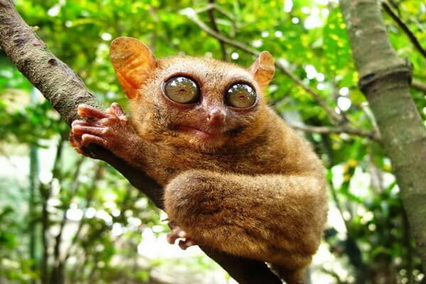 Животные Индонезии с фото, названиями, описанием - Долгопят