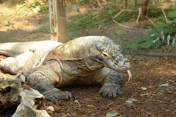 Животные Индонезии с фото, названиями, описанием - Комодский варан или комодский дракон