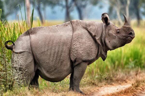 Животные Индонезии с фото, названиями, описанием - Яванский носорог
