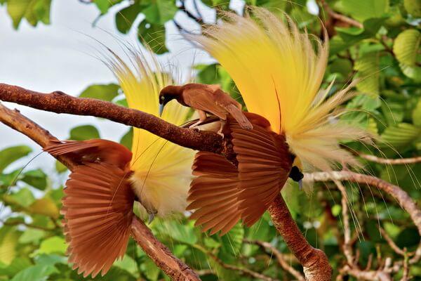 Животные Индонезии с фото, названиями, описанием - Райские птицы
