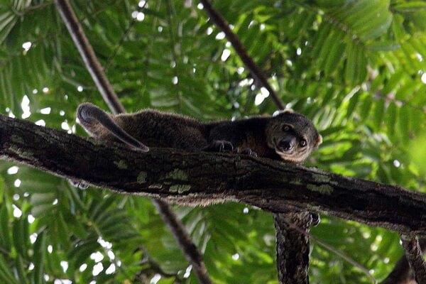 Животные Индонезии с фото, названиями, описанием - Медвежий кускус