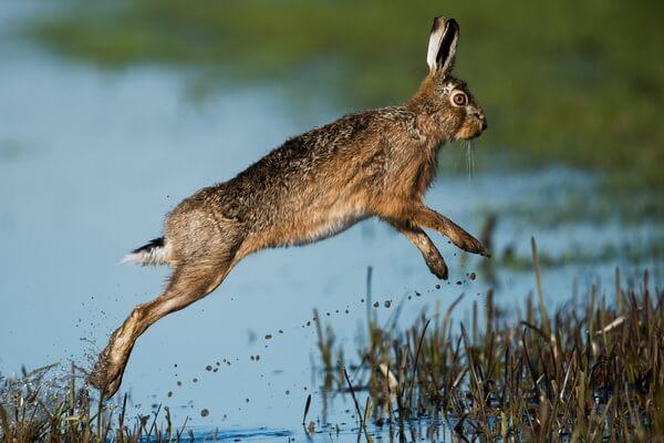 Животные Ирака с фото и описанием - Заяц-русак
