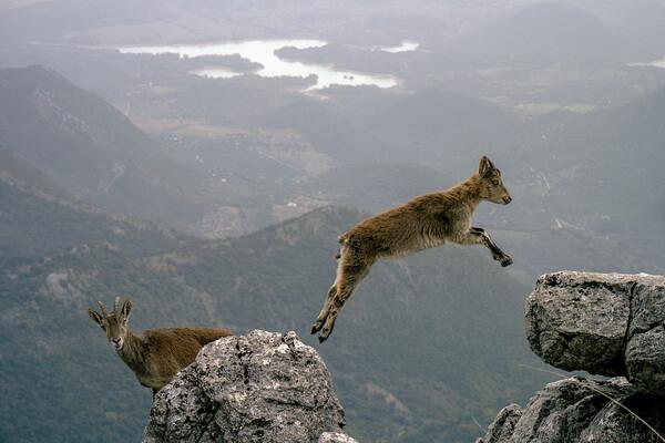 Животные Ирака с фото и описанием - Безоаровый козёл