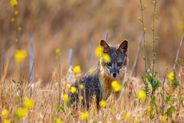 Животные Калифорнии с фото и описанием - Островная лисица