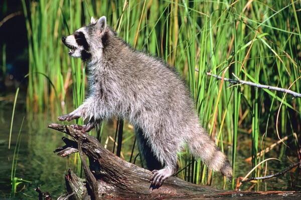 Животные Канады с фото и описанием - Енот-полоскун