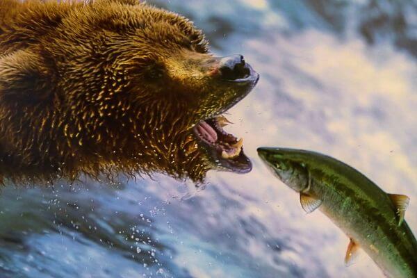 Животные Канады с фото и описанием - Североамериканский бурый медведь (гризли)