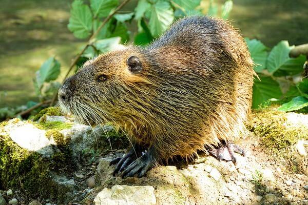 Животные Канады с фото и описанием - Бобры