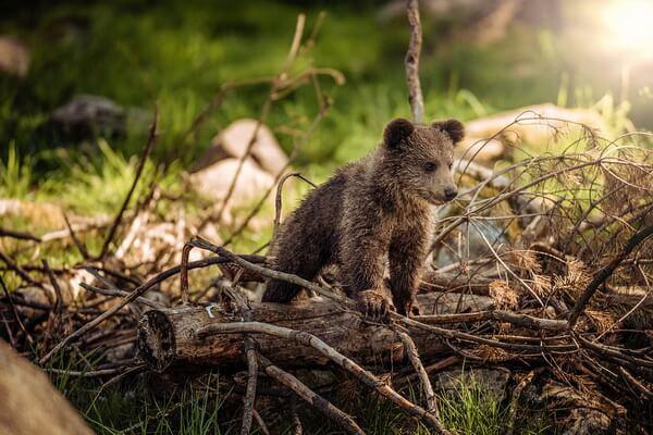 Животные Карелии с фото и описанием - Бурый медведь