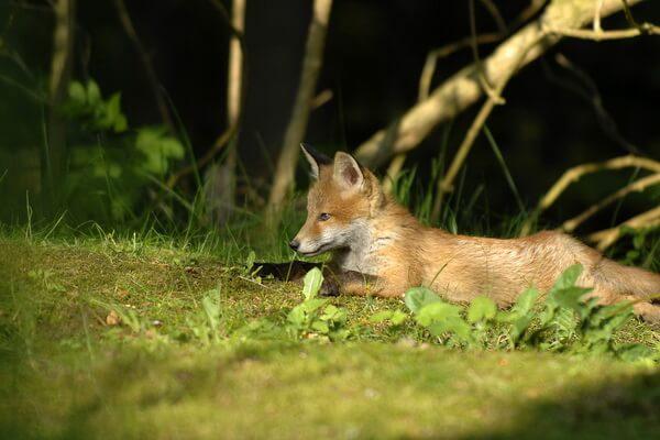 Животные Карелии с фото и описанием - Обыкновенная лисица