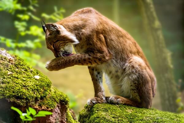 Животные Карелии с фото и описанием - Рысь