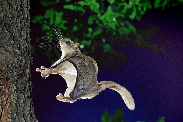 Животные Карелии с фото и описанием - Белка-летяга