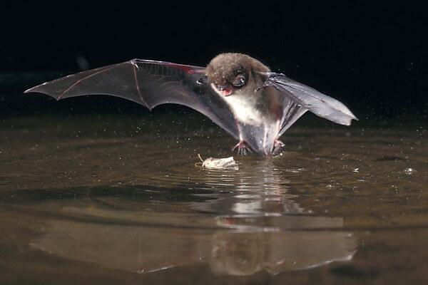 Животные Карелии с фото и описанием - Водяная ночница