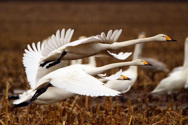 Птицы Карелии с фото и названиями - Лебедь-кликун