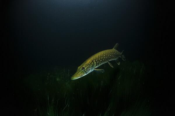 Рыба, которая водится в Карелии - Щука