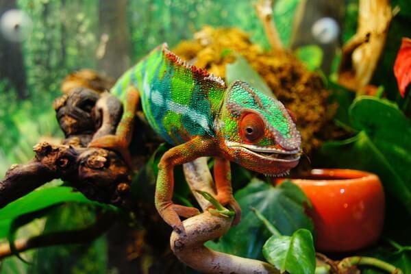 Животные, которые меняют цвет - Хамелеоны