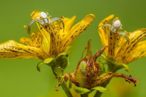 Животные, меняющие окрас - Пауки-крабы или цветочные пауки