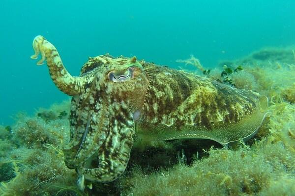 Животные, меняющие окрас - Кальмары