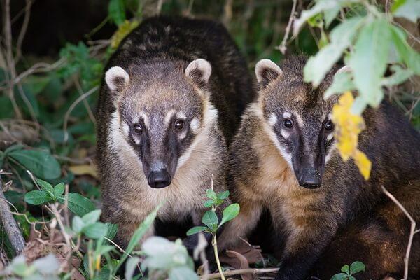 Животный мир Мексики - Носухи или коати