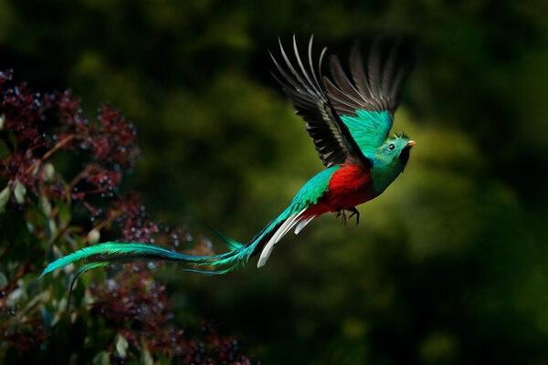 Животный мир Мексики - Кетцаль или квезаль