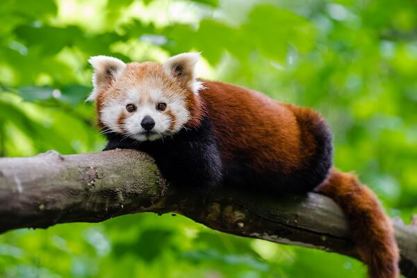 Животные Непала с фото и описанием - Малая или красная панда