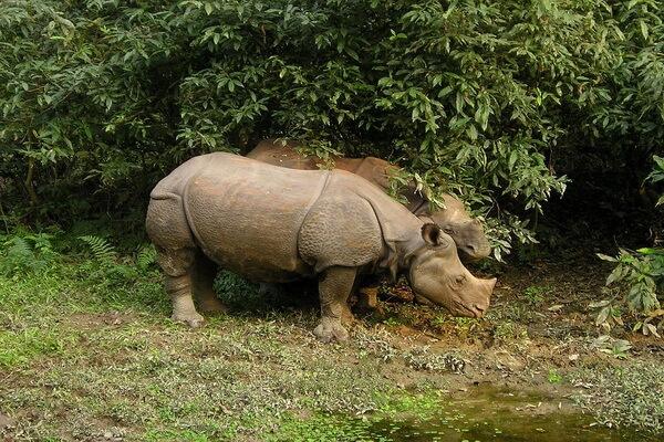 Животные Непала с фото и описанием - Индийский носорог