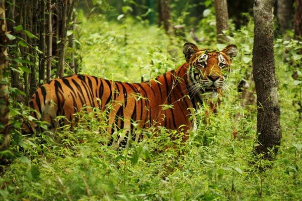 Животные Непала с фото и описанием - Бенгальский тигр