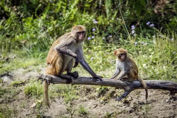 Животные Непала с фото и описанием - Горный резус или ассамский макак