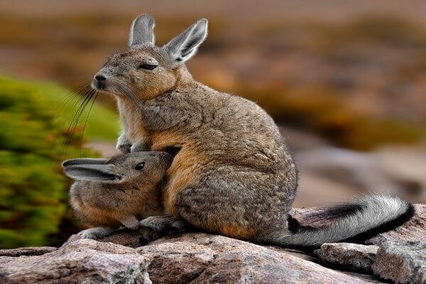 Животный мир Перу с фото и описанием - Горная вискаша