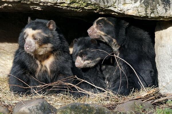 Фауна Перу - Очковый или андский медведь