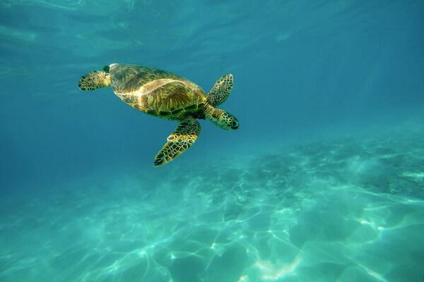 Животный мир Перу с фото и описанием - Морские черепахи