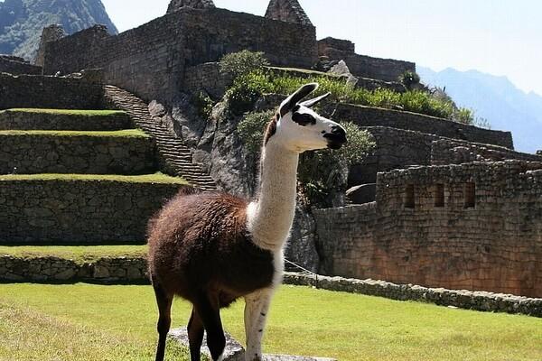 Животный мир Перу - Лама