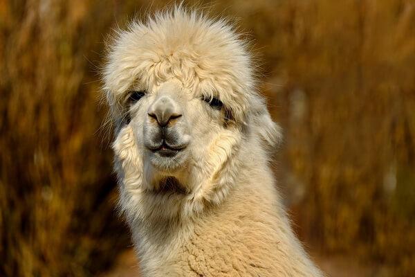 Животный мир Перу - Альпака