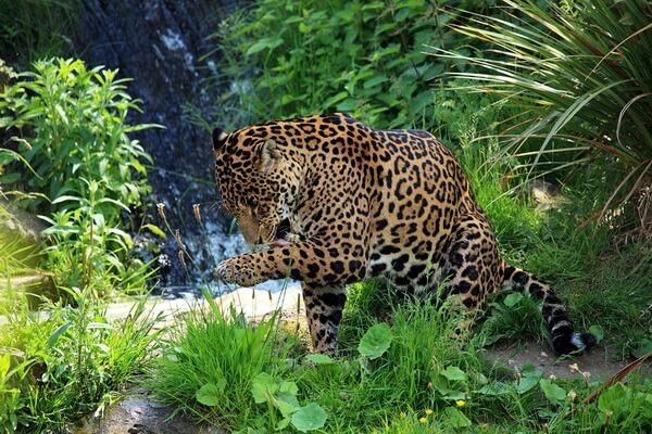 Животный мир Перу - Ягуар
