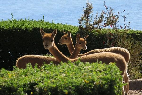 Фауна Перу - Викунья