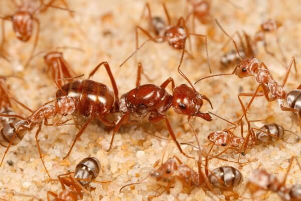 Животный мир Сахары - Серебристые муравьи-бегунки