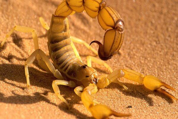Животный мир Сахары - Жёлтый скорпион