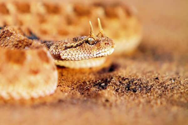 Животные Сахары - Рогатая гадюка