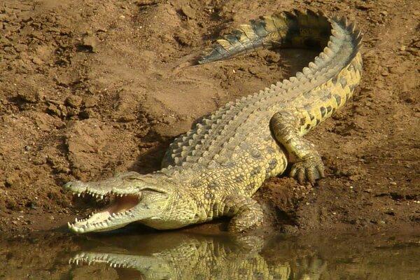 Животные пустыни Сахара - Пустынный или западноафриканский крокодил