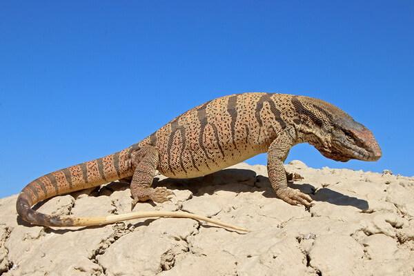 Животные мир Сахары - Вараны