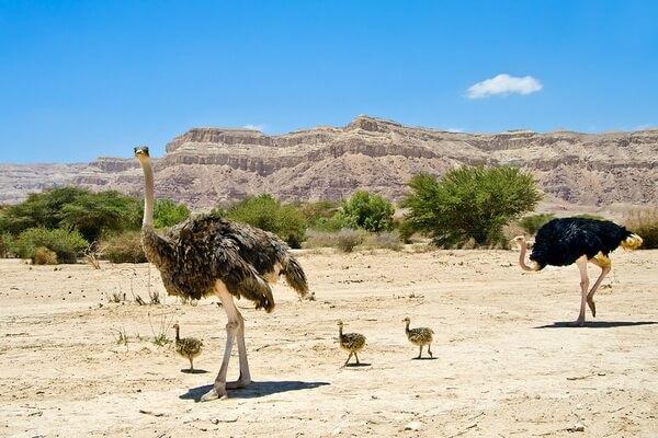 Птицы Сахары - Североафриканский страус