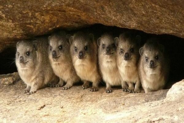 Животные Сахары - Даманы