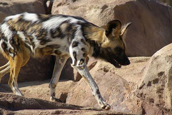 Животные Сахары - Гиеновидная собака