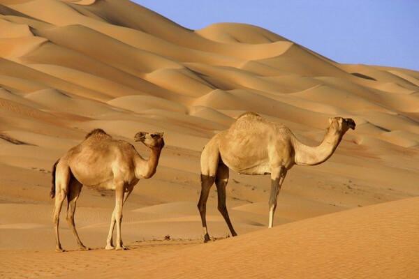 Животные пустыни Сахара - Дромедары