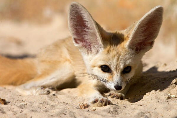 Животный мир Сахары - Фенек
