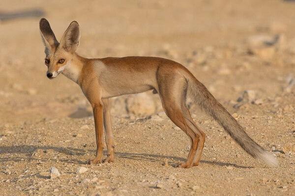 Животный мир Сахары - Песчаная лисица