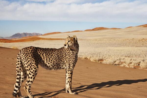 Животный мир Сахары - Сахарский гепард