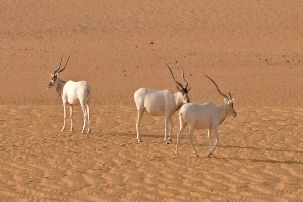 Животные Сахары - Аддакс или антилопа мендес