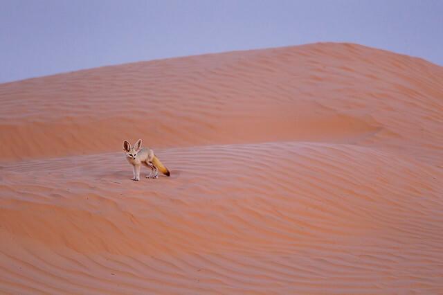 Животные Сахары - уникальная фауна пустыни