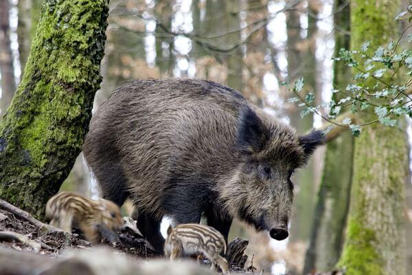 Животные Сербии с фото и описанием - Дикий кабан